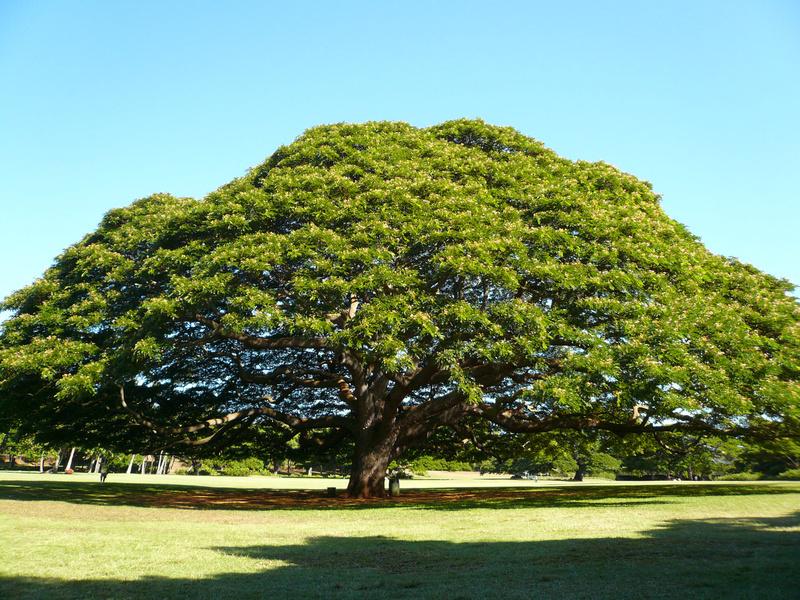ハワイの大木 レインツリー